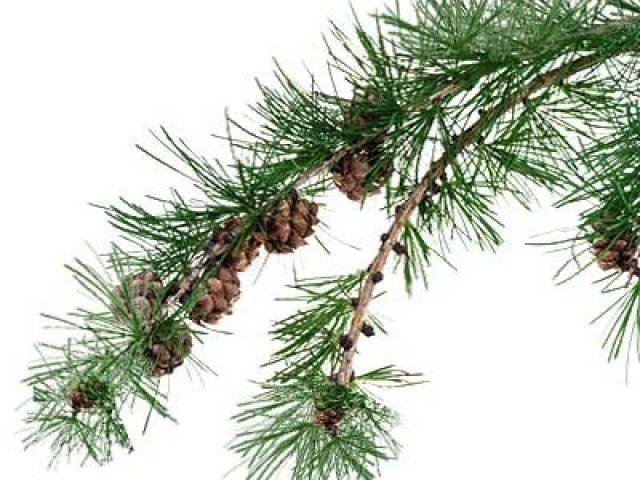 Möchten Sie Lärchenholz kaufen. Hier erfahren Sie mehr über das Holz der Lärche.