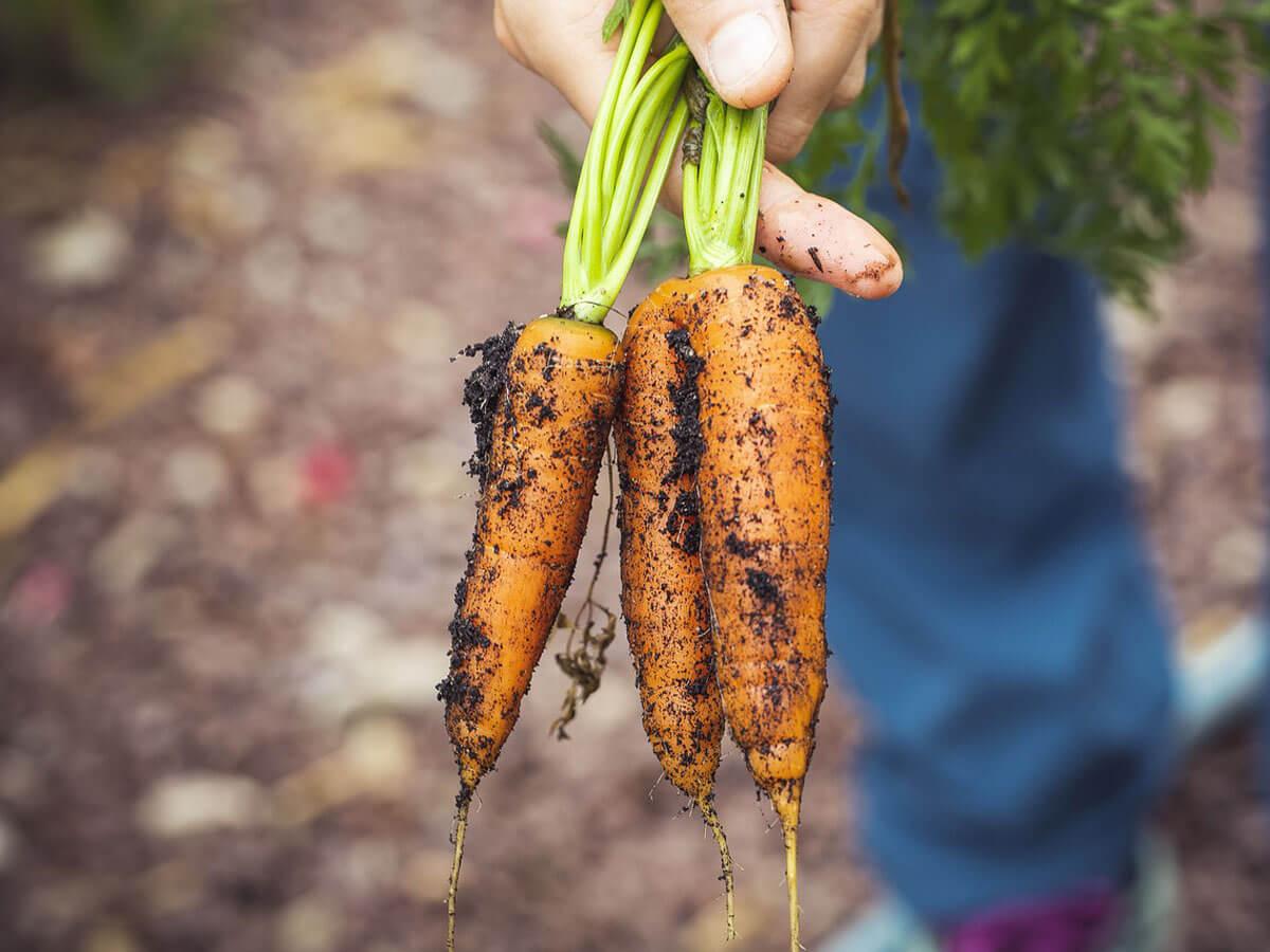 Karotten - aus dem Hochbeet geerntet
