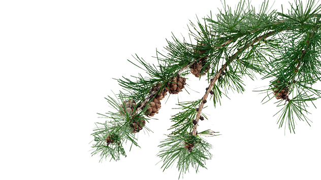 Lärchenholz kaufen – das Holz der Lärche direkt vom Sägewerk